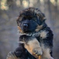 German Shepherd Puppies for sale in New York, NY, USA. price: NA