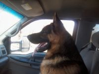 German Shepherd Puppies for sale in Bloomfield, IA 52537, USA. price: NA