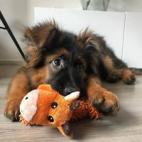 German Shepherd Puppies for sale in Dallas, GA, USA. price: NA