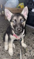 German Shepherd Puppies for sale in Brooklyn, NY, USA. price: NA