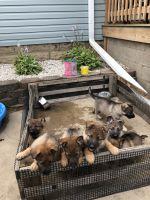 German Shepherd Puppies for sale in DeKalb, IL, USA. price: NA