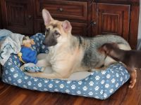 German Shepherd Puppies for sale in Lawndale, CA, USA. price: NA