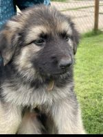 German Shepherd Puppies for sale in 2232 SW 34th St, Oklahoma City, OK 73119, USA. price: NA