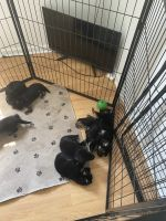 German Shepherd Puppies for sale in Oxford, MS 38655, USA. price: NA