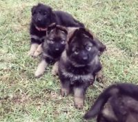 German Shepherd Puppies for sale in Port Charlotte, FL, USA. price: NA
