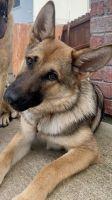 German Shepherd Puppies for sale in Killeen, TX 76549, USA. price: NA