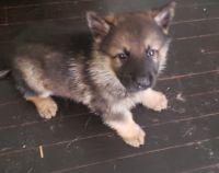 German Shepherd Puppies for sale in Detroit Metropolitan Area, MI, USA. price: NA