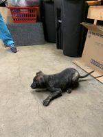German Shepherd Puppies for sale in Omaha, NE 68117, USA. price: NA