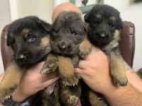 German Shepherd Puppies for sale in Huffman, TX 77336, USA. price: NA