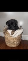 German Shepherd Puppies for sale in Gadsden, AL, USA. price: NA