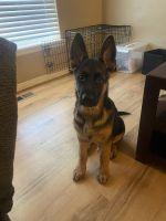 German Shepherd Puppies for sale in Heath, TX 75126, USA. price: NA
