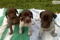 German Shorthaired Pointer Puppies for sale in Carlsbad, CA, USA. price: NA