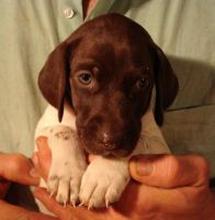 German Shorthaired Pointer Puppies for sale in Michigan, USA. price: NA
