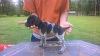 German Shorthaired Pointer Puppies for sale in Clackamas, OR, USA. price: NA