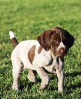 German Shorthaired Pointer Puppies for sale in Portland, OR, USA. price: NA