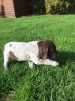 German Shorthaired Pointer Puppies for sale in Phoenix, AZ, USA. price: NA