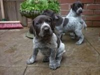 German Shorthaired Pointer Puppies for sale in Honolulu, HI, USA. price: NA