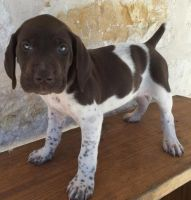 German Shorthaired Pointer Puppies for sale in Boise, ID, USA. price: NA