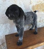 German Shorthaired Pointer Puppies for sale in Kansas City, KS, USA. price: NA