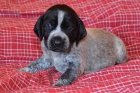 German Shorthaired Pointer Puppies for sale in Chattanooga, TN, USA. price: NA