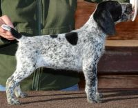 German Shorthaired Pointer Puppies for sale in Beaver Creek, CO 81620, USA. price: NA