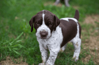 German Shorthaired Pointer Puppies for sale in Baltimore, MD, USA. price: NA