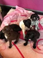 German Shorthaired Pointer Puppies for sale in Los Angeles, CA, USA. price: NA
