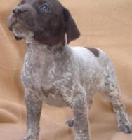German Shorthaired Pointer Puppies for sale in Burbank, CA, USA. price: NA