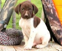 German Shorthaired Pointer Puppies for sale in Fresno, CA, USA. price: NA