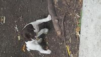 German Shorthaired Pointer Puppies for sale in Harrison Township, NJ, USA. price: NA