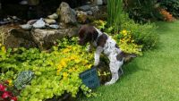 German Shorthaired Pointer Puppies for sale in Miami, FL, USA. price: NA