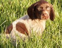 German Shorthaired Pointer Puppies for sale in Little Rock, AR, USA. price: NA