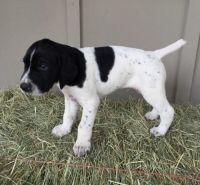 German Shorthaired Pointer Puppies for sale in Austin, TX, USA. price: NA