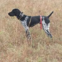 German Shorthaired Pointer Puppies for sale in Fairfield, NJ, USA. price: NA