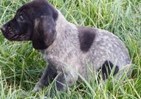German Shorthaired Pointer Puppies for sale in San Antonio, TX, USA. price: NA