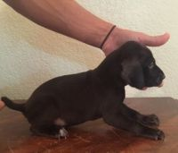 German Shorthaired Pointer Puppies for sale in Baywood-Los Osos, CA 93402, USA. price: NA