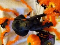 German Shorthaired Pointer Puppies for sale in Riverside, CA, USA. price: NA