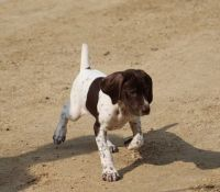 German Shorthaired Pointer Puppies for sale in Stewartville, MN 55976, USA. price: NA