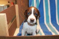 German Shorthaired Pointer Puppies for sale in 11420 Alpine Rd, Canadian Lakes, MI 49346, USA. price: NA