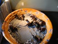 German Shorthaired Pointer Puppies for sale in Stacy, MN 55079, USA. price: NA
