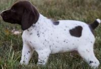 German Shorthaired Pointer Puppies for sale in New Haven, MI 48050, USA. price: NA