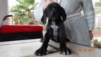 German Shorthaired Pointer Puppies for sale in Henderson, NV, USA. price: NA