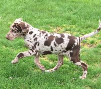 German Shorthaired Pointer Puppies for sale in Chesterfield Township, MI, USA. price: NA