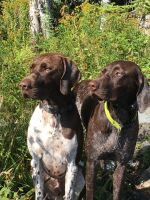 German Shorthaired Pointer Puppies for sale in Albion, ME 04910, USA. price: NA
