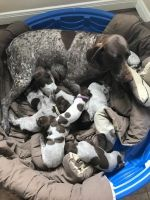 German Shorthaired Pointer Puppies for sale in Hallettsville, TX 77964, USA. price: NA