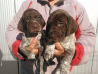 German Shorthaired Pointer Puppies for sale in Atlanta, GA, USA. price: NA