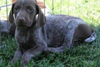 German Shorthaired Pointer Puppies for sale in New York, NY, USA. price: NA