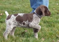 German Shorthaired Pointer Puppies for sale in Orlando, FL, USA. price: NA