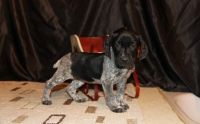 German Shorthaired Pointer Puppies for sale in West Lafayette, IN, USA. price: NA