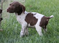 German Shorthaired Pointer Puppies for sale in Garden City, ID, USA. price: NA
